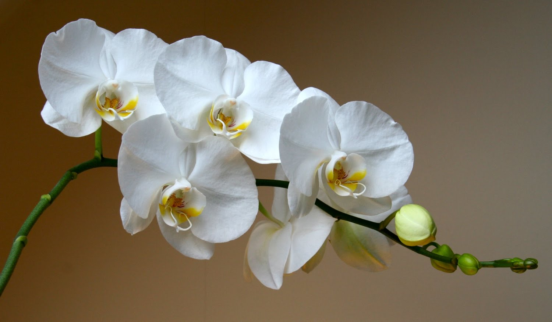 Mag-import ng mga orchid sa Vladivostok
